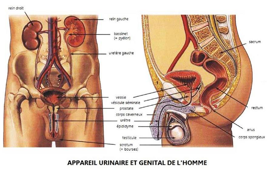 musculation du périée chez les hommes connaître son anatomie
